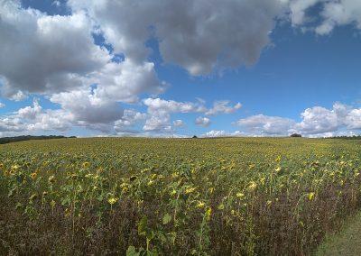 Wyprawy rowerowe Suwalszczyzna-pole słoneczników